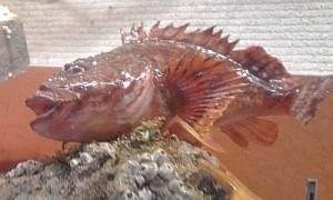 食品サンプル_カサゴ