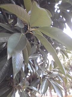 2013_10_13_国際展示場_ドングリの木