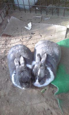 2015_02_11_03_町田リス園_白黒ウサギ