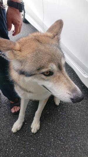 2019_08_11_01_狼犬