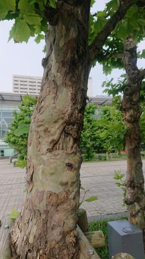 2020_06_25_01_ゴマダラカミキリ1.JPG